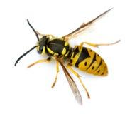 Europäische Wespe getrennt Stockfotos
