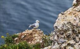 Europésillfiskmåsen på de Etretat klipporna Arkivbilder