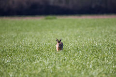 Eurppean Hare Stock Images