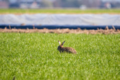 Eurppean Hare Royalty Free Stock Image