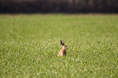 Eurppean Hare Stock Photography