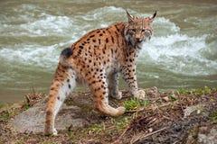 Eursian lynx near water stream looking behind itself. royalty free stock photos