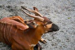 Eurycerus africano do tragelaphus do antílope dos bongos fotografia de stock