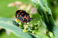 Eurydema oleracea, rape bug Royalty Free Stock Photo