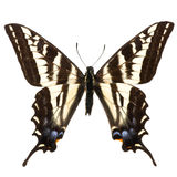 Eurymedon de Papilio photo stock