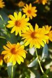 Euryops chrysanthemoides, african bush daisy, stock photo