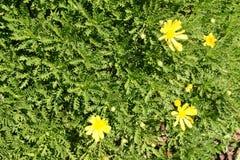 Euryops chrysanthemoides, African bush daisy Royalty Free Stock Photo