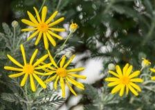 Euryops, margherita gialla del cespuglio, pectinatus dei euryops, quattro fiori luminosi della margherita Fotografie Stock