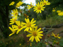 Euryops pectinatus, gul Bush tusensköna Arkivbilder