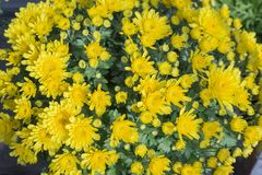 `Euryops pectinatus`- yellow daisy. Bouquet of yellow daisies to decorate the house stock photography