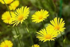 Euryopspectinatus Het gele bloem bloeien stock afbeelding