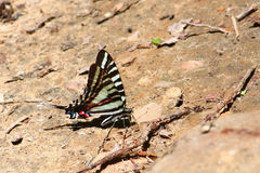 eurytides马塞勒斯swallowtail斑马 免版税库存图片