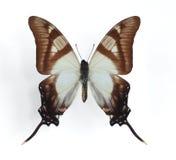 Eurytides columbus Stock Images
