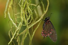 Eurytides thymbraeus, White-crescent Swallowtail, butterfly in the nature habitat. Beautiful insect sitting on the orchid roots in. The tropic nature. Butterfly stock photos