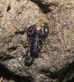 Euscorpius carpathicus. Carpathian scorpion sitting on a rock Royalty Free Stock Photo