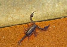 Euscorpius, pequeño escorpión de madera en ladrillo anaranjado Imagen de archivo
