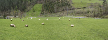 Euskal绵羊 库存图片