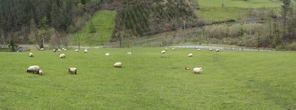 Euskal Sheeps Obrazy Stock