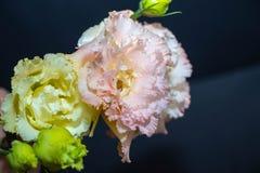Eustoma λουλουδιών, κινεζικά όμορφα, λεπτά χρώματα τριαντάφυλλων στοκ φωτογραφίες με δικαίωμα ελεύθερης χρήσης
