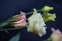 Eustoma λουλουδιών, κινεζικά όμορφα, λεπτά χρώματα τριαντάφυλλων στοκ φωτογραφία