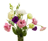 Eustoma Stock Images