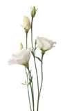 Eustoma Stock Photos