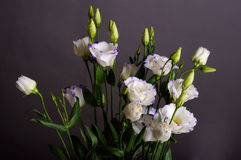 Eustoma Immagine Stock