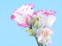 Eustoma Royalty Free Stock Photo