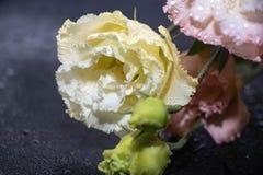 Eustoma de fleurs, roses chinoises belles, couleurs sensibles images libres de droits