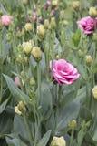 Eustoma - Doublini - Rose Pink Imagen de archivo