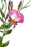 Eustoma flower Royalty Free Stock Photo