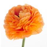 Eustoma flower Stock Photo