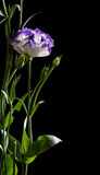 Eustoma Royalty Free Stock Photos