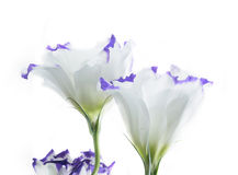 Eustoma flower Stock Images