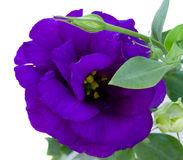Eustoma flower close up Stock Photos