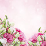 Eustoma flower meadow Stock Photography