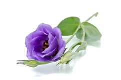 Eustoma flower Royalty Free Stock Photography