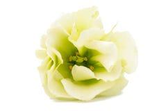 Eustoma flower Stock Photos