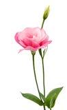 Eustoma flower Royalty Free Stock Images