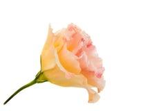 Eustoma flower Stock Images