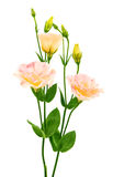 Eustoma flower Royalty Free Stock Photo
