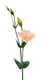 Eustoma flower Royalty Free Stock Photos