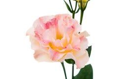 Eustoma flower Stock Photography