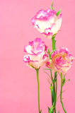 Eustoma flowers Royalty Free Stock Photos