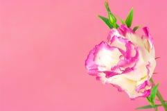 Eustoma flowers Royalty Free Stock Photo
