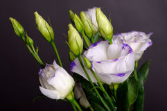 Eustoma Royalty Free Stock Image