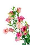 Eustoma flowers isolated on white Stock Photo