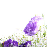 Eustoma flowers Stock Photos