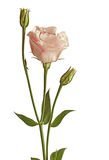 Eustoma Flowers Pink Stock Images