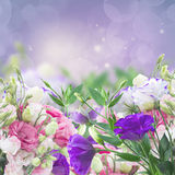 Eustoma flowers on violet Stock Image